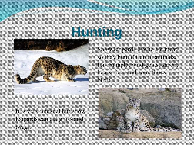 Hunting Snow leopards like to eat meat so they hunt different animals, for ex...