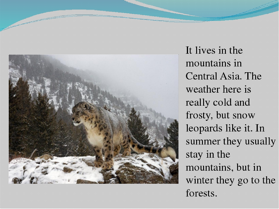 It lives in the mountains in Central Asia. The weather here is really cold an...