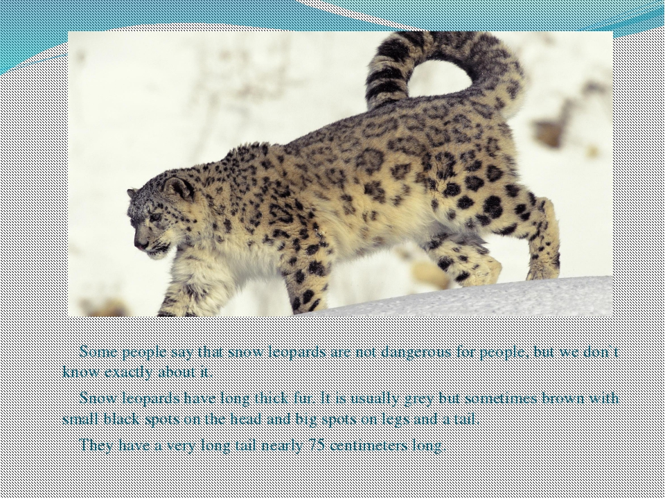 Some people say that snow leopards are not dangerous for people, but we don`...