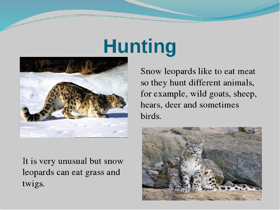 snow leopard essay example Snow leopard research paper - best hq academic services provided by top specialists get started with term paper writing and write finest essay ever benefit from our inexpensive custom dissertation writing services and benefit from amazing quality.