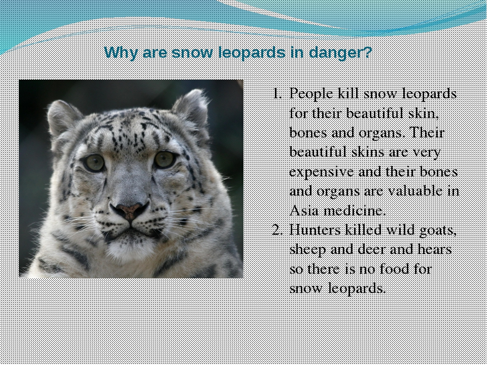 Why are snow leopards in danger? People kill snow leopards for their beautifu...