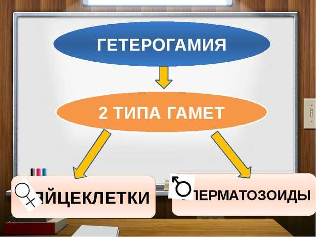ГЕТЕРОГАМИЯ 2 ТИПА ГАМЕТ ЯЙЦЕКЛЕТКИ СПЕРМАТОЗОИДЫ