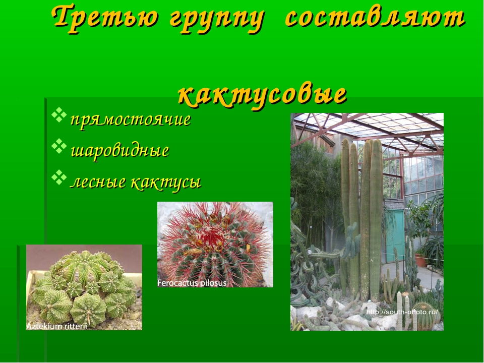 Третью группу составляют кактусовые прямостоячие шаровидные лесные кактусы