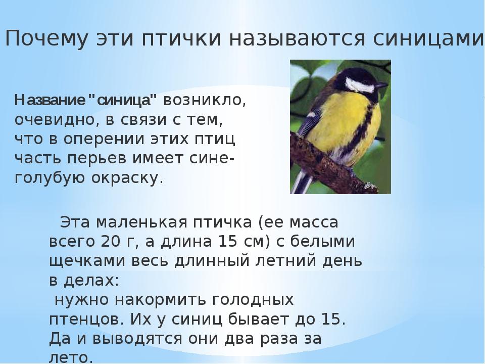 """Почему эти птички называются синицами? Название """"синица"""" возникло, очевидно..."""