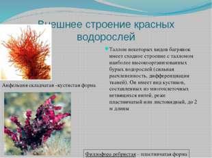 Внешнее строение красных водорослей Таллом некоторых видов багрянок имеет схо
