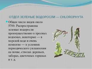 ОТДЕЛ ЗЕЛЕНЫЕ ВОДОРОСЛИ — CHLOROPHYTA Общее число видов около 5700. Распростр