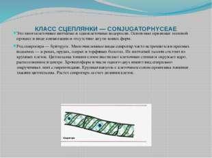 КЛАСС СЦЕПЛЯНКИ — CONJUGATOPHYCEAE Это многоклеточные нитчатые и одноклеточны