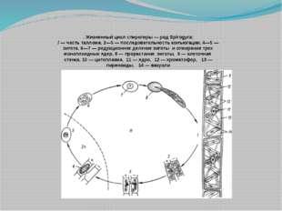 . Жизненный цикл спирогиры — род Spirogyra: / — часть таллома, 2—5 — последо