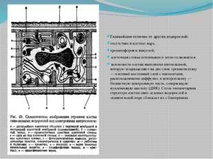 Главнейшее отличие от других водорослей: отсутствие в клетках ядра, хроматофо
