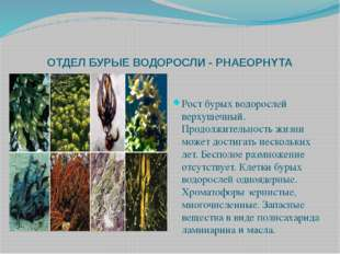 ОТДЕЛ БУРЫЕ ВОДОРОСЛИ - PHAEOPHYTA Рост бурых водорослей верхушечный. Продолж