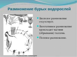 Размножение бурых водорослей Бесполое размножение отсутствует. Вегетативное р
