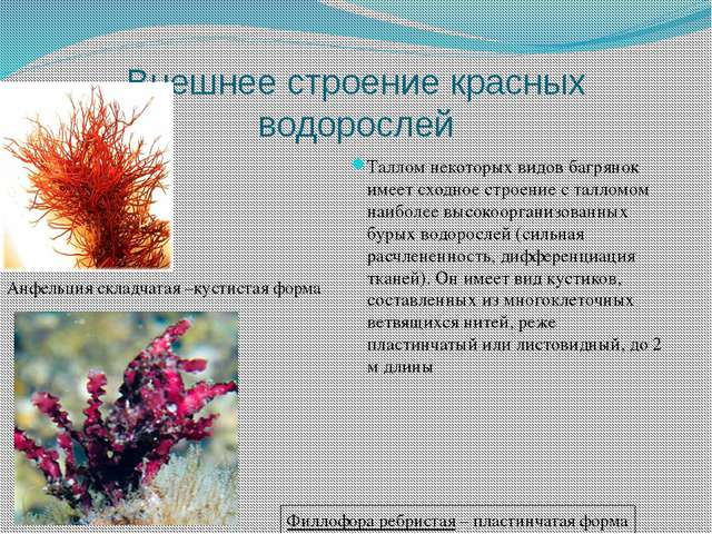 Внешнее строение красных водорослей Таллом некоторых видов багрянок имеет схо...