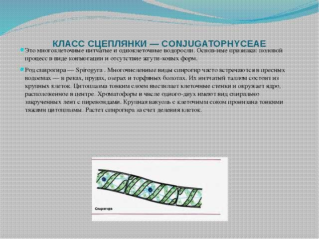 КЛАСС СЦЕПЛЯНКИ — CONJUGATOPHYCEAE Это многоклеточные нитчатые и одноклеточны...