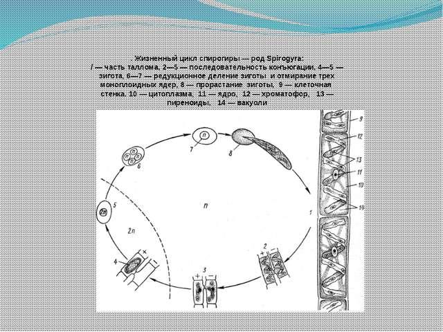 . Жизненный цикл спирогиры — род Spirogyra: / — часть таллома, 2—5 — последо...