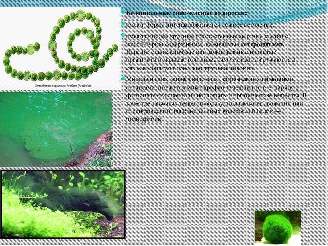 Колониальные сине-зеленые водоросли: имеют форму нитей,наблюдается ложное вет...