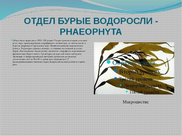 ОТДЕЛ БУРЫЕ ВОДОРОСЛИ - PHAEOPHYTA Общее число видов около 1500 (190 родов)....