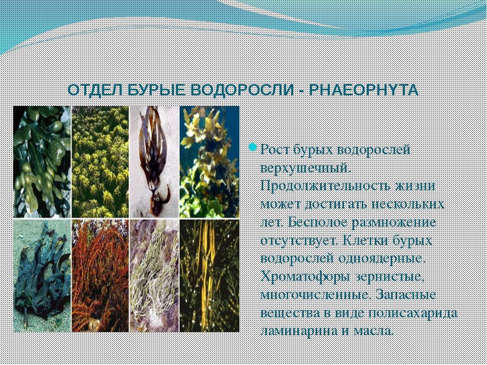 ОТДЕЛ БУРЫЕ ВОДОРОСЛИ - PHAEOPHYTA Рост бурых водорослей верхушечный. Продолж...