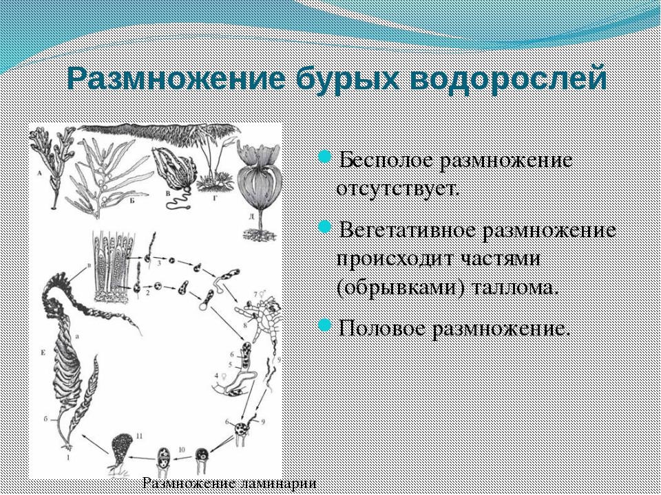 Размножение бурых водорослей Бесполое размножение отсутствует. Вегетативное р...