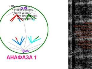 Анафаза 1 Гомологичные хромосомы расходятся к полюсам клетки, происходит реду
