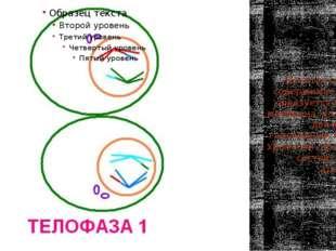 Телофаза 1 Делится основное содержимое клетки, образуется ядерная мембрана, в