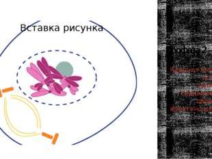 Профаза 2 Ядерная мембрана исчезает, хромосомы спирализуются, образуется вере