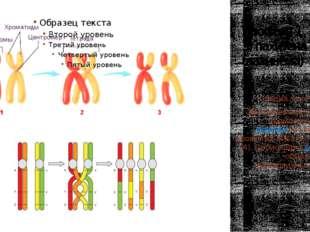 Профаза 1 3) пахитена (пахинема) Стадия толстых нитей. Две проконьюги-рованны