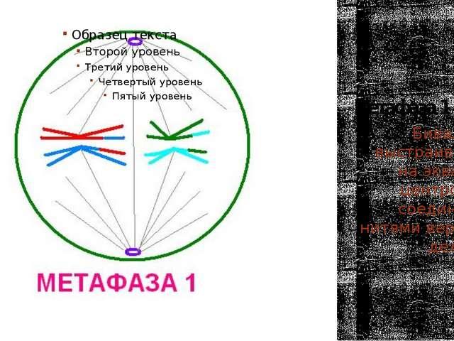 Метафаза 1 Биваленты выстраиваются на экваторе, центромеры соединены с нитями...