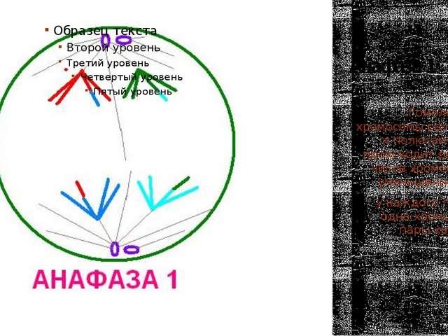 Анафаза 1 Гомологичные хромосомы расходятся к полюсам клетки, происходит реду...