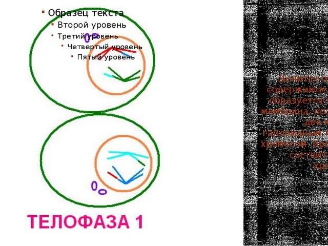 Телофаза 1 Делится основное содержимое клетки, образуется ядерная мембрана, в...