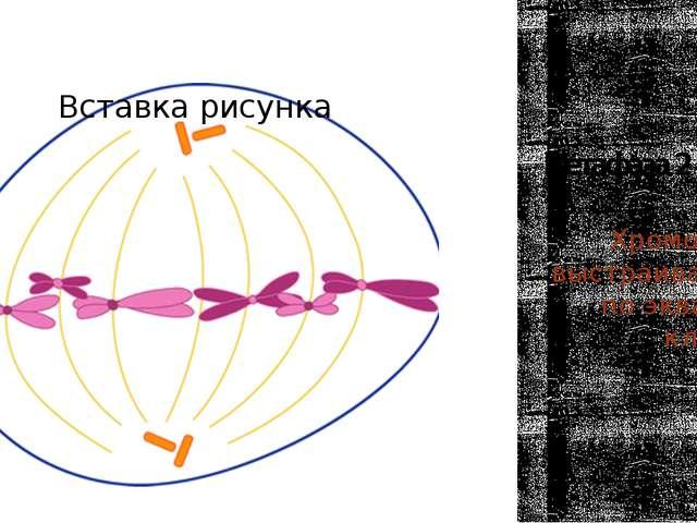 Метафаза 2 Хромосомы выстраиваются по экватору клетки. (п2с)
