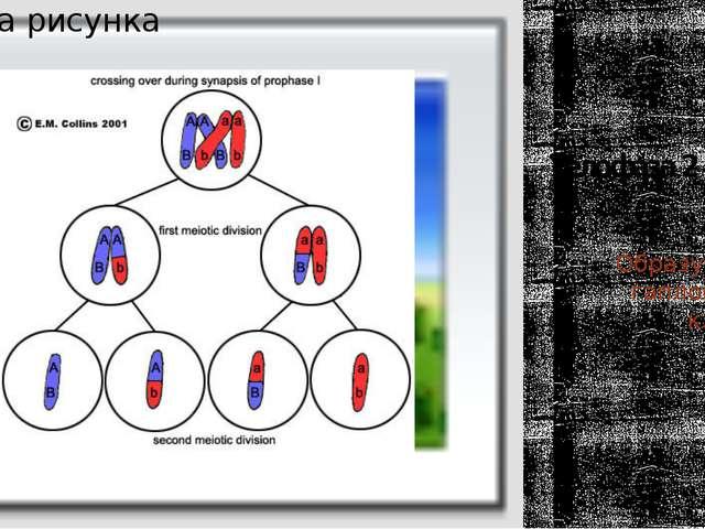 Телофаза 2 Образуется 4 гаплоидные клетки. (пс)