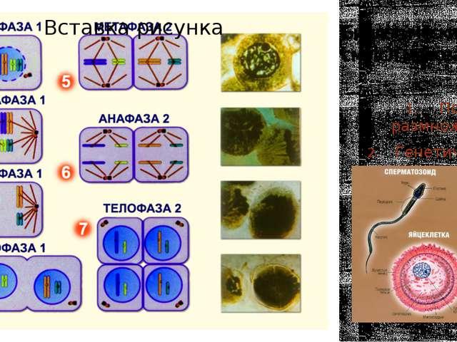 Биологический смысл мейоза. Половое размножение. Генетическая изменчивость.