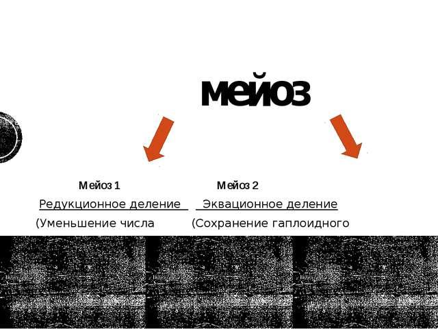 мейоз Мейоз 1 Мейоз 2 Редукционное деление Эквационное деление (Уменьшение чи...