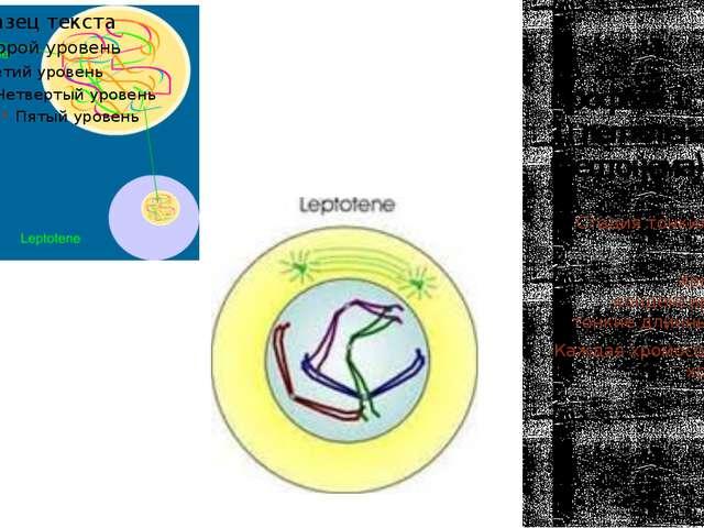Профаза 1 1) лептотена (лептонема) Стадия тонких нитей. Хромосомы конденсирую...