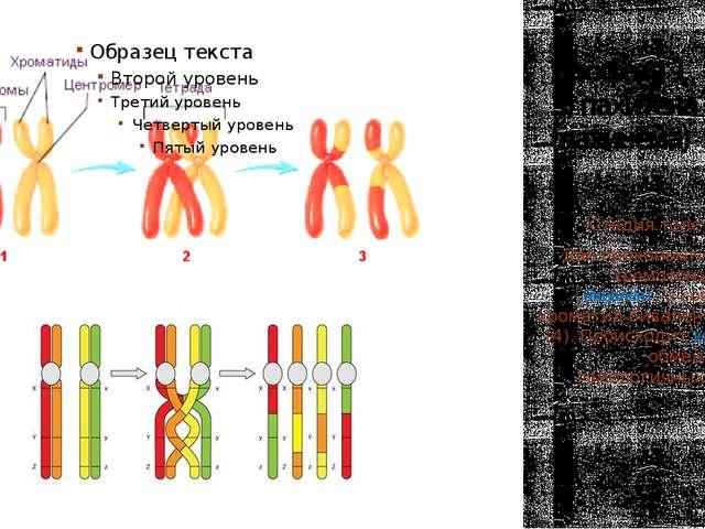 Профаза 1 3) пахитена (пахинема) Стадия толстых нитей. Две проконьюги-рованны...