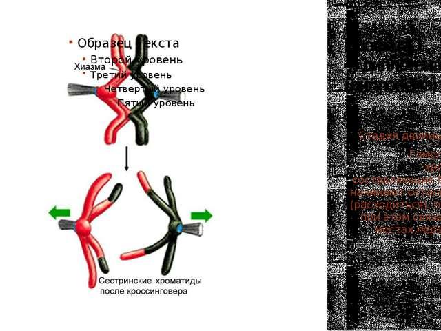 Профаза 1 4) диплотена (диплонема) Стадия двойных нитей. Гомологичные хромосо...