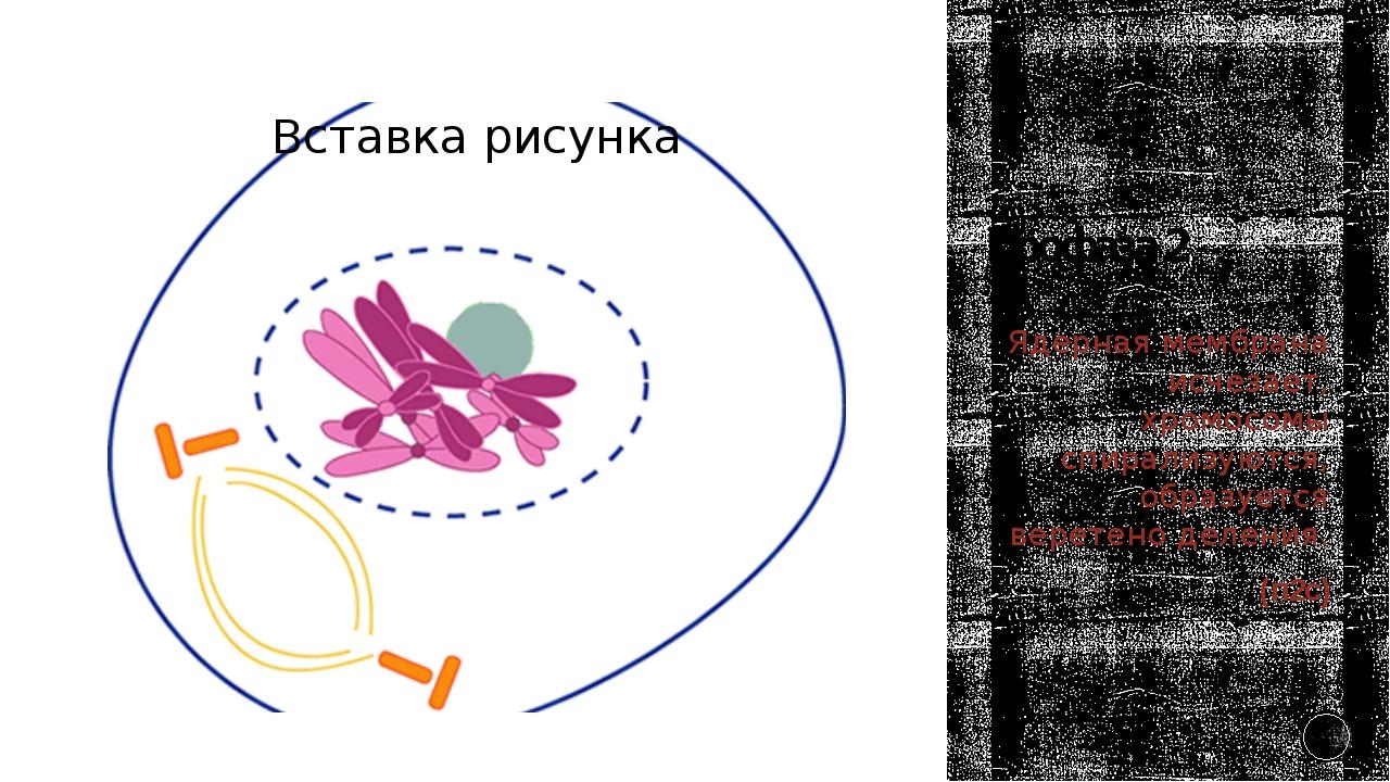 Профаза 2 Ядерная мембрана исчезает, хромосомы спирализуются, образуется вере...