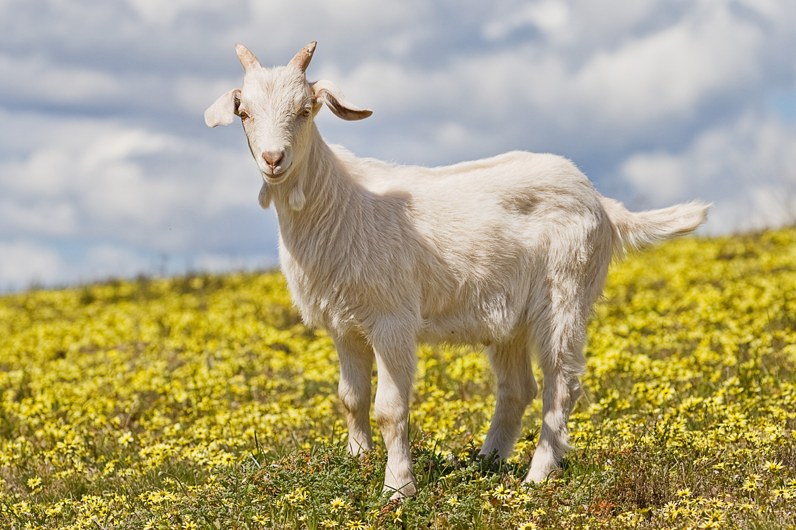 http://upload.wikimedia.org/wikipedia/commons/f/ff/Domestic_goat_kid_in_capeweed.jpg