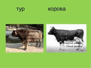 тур корова