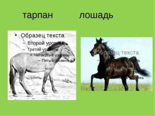 тарпан лошадь