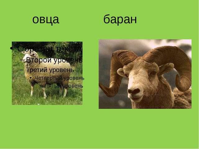 овца баран