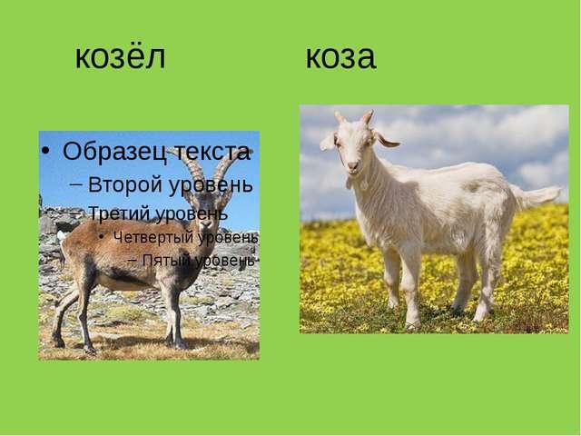 козёл коза