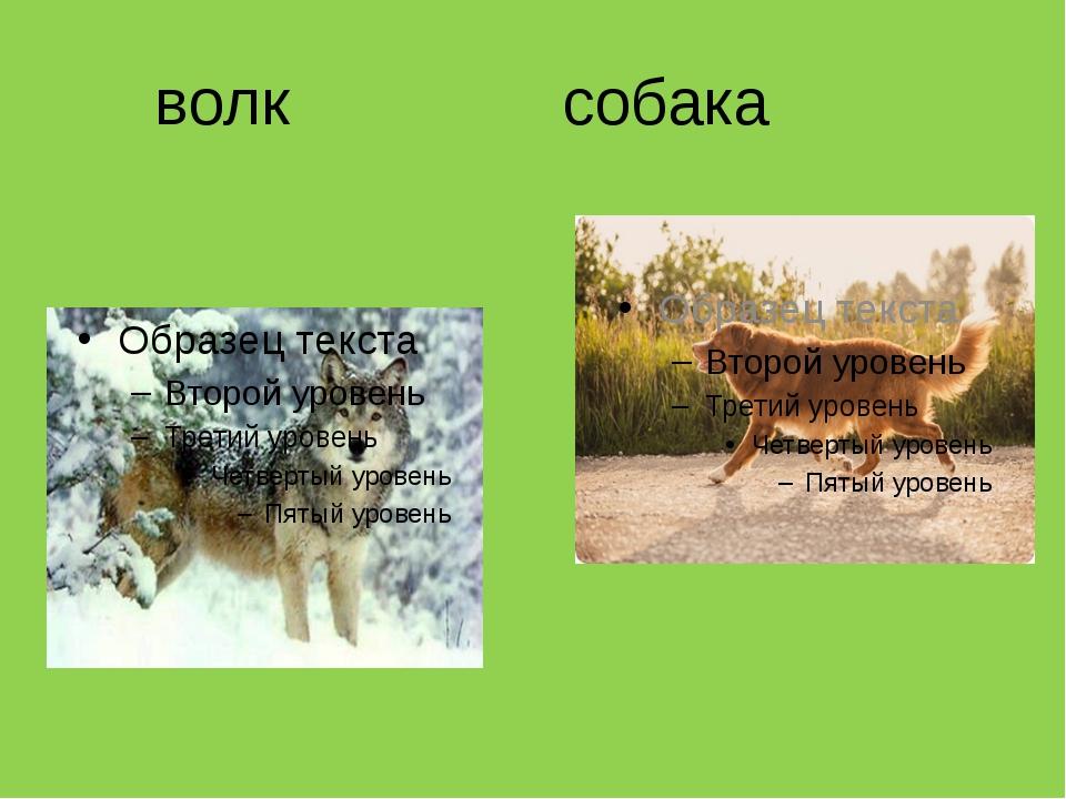 волк собака