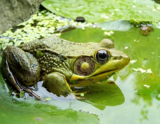 Лягушка, мох, грязь, жижа, сидеть, болото обои, фото, картинки