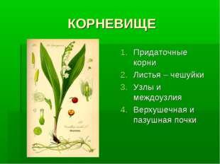 КОРНЕВИЩЕ Придаточные корни Листья – чешуйки Узлы и междоузлия Верхушечная и