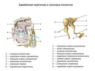 Барабанная перепонка и слуховые косточки 1 — головка молоточка; 2 — короткая
