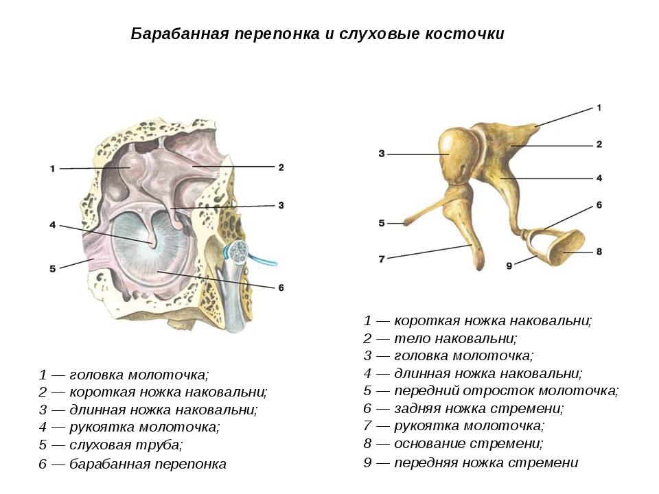 Барабанная перепонка и слуховые косточки 1 — головка молоточка; 2 — короткая...