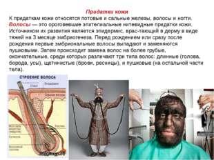 Придатки кожи К придаткам кожи относятся потовые и сальные железы, волосы и н