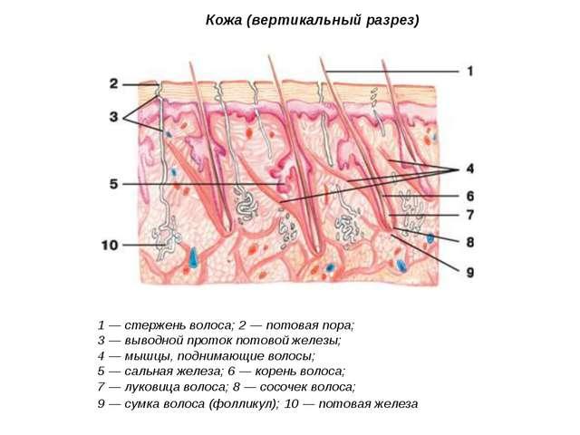 Кожа (вертикальный разрез) 1 — стержень волоса; 2 — потовая пора; 3 — выводно...