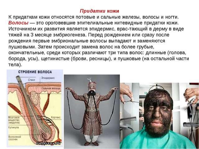 Придатки кожи К придаткам кожи относятся потовые и сальные железы, волосы и н...